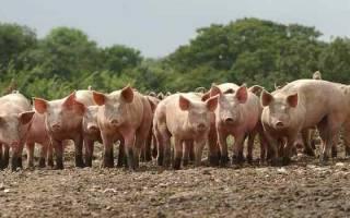 К чему снится огромная розовая свинья. К чему снятся свиньи? К чему снится живая или мертвая свинья