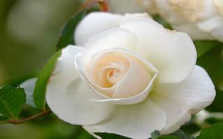К чему снятся белые розы? Сонник букет белых роз приснился.
