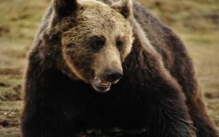 Приснился медведь бурый к чему. Сонник: медведь бурый