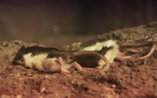 Сон большая дохлая крыса. К чему снится дохлая крыса: значение сна