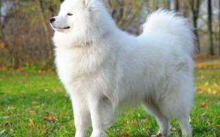 Видеть во сне белую маленькую собаку. Изучаем сонник: белая собака к чему снится? К чему снится белая собака по соннику Фрейда