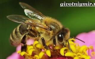 Пчела краткое описание. Спаривание и размножение. О жизни насекомых