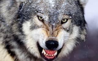 К чему снится волк с голубыми глазами. К чему снятся волки женщине? Сонник про волков