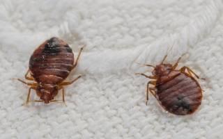 Как разобраться, к чему снятся клопы, да еще и с другими насекомыми. К чему снятся клопы